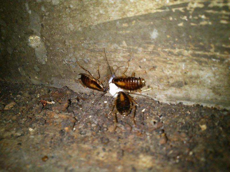 cucarachas comiendo cebo