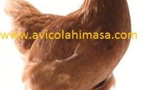 avicola himasa gallina lohmann brown
