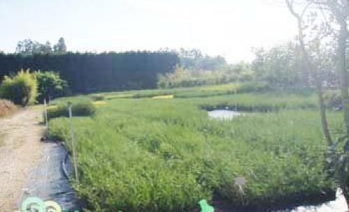 parcela dedicada al cultivo de cupressocyparis leylandii, cipres leylandi