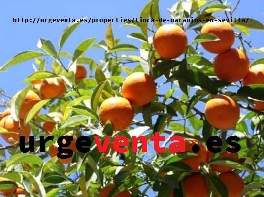 Fincas de naranjos