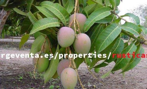 Fincas de mangos y aguacates
