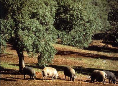Cerdos en la Dehesa