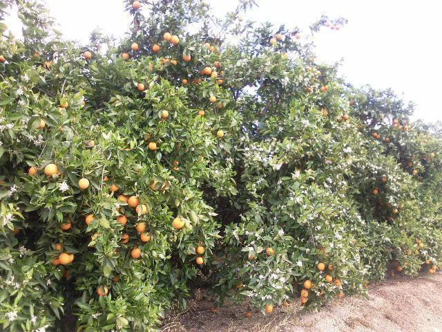 Las mejores naranjas de Valencia